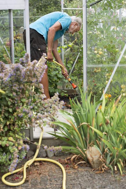 Uomo anziano irrigazione piante in serra — Foto stock