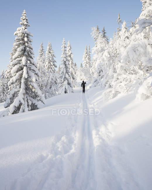 Человек на лыжах по заснеженным деревьям — стоковое фото