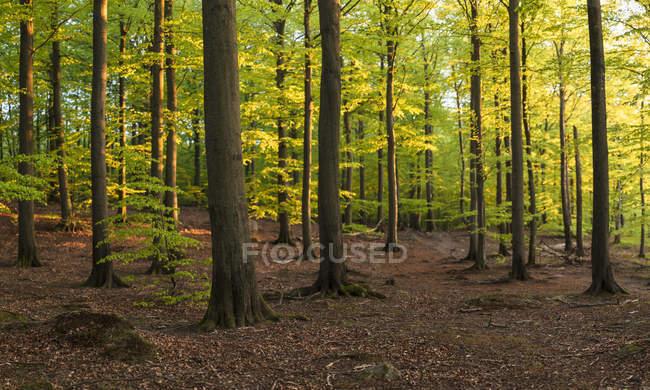 Árvores na floresta no Parque Nacional Soderasen, Suécia — Fotografia de Stock
