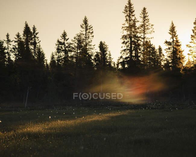 Pins au coucher du soleil dans la réserve naturelle de Koppgangen, Suède — Photo de stock