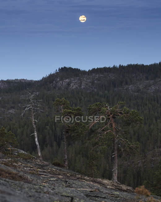 Pine tree forest in Skuleskogen National Park, Sweden — Stock Photo