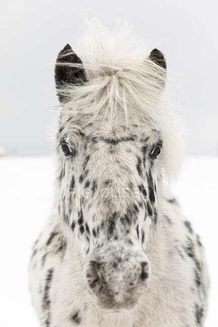 Black and white horse on snow, close-up view — Stock Photo