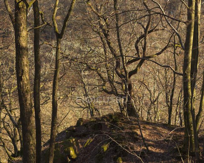 Hêtres nus dans le parc national de Soderasen, Suède — Photo de stock