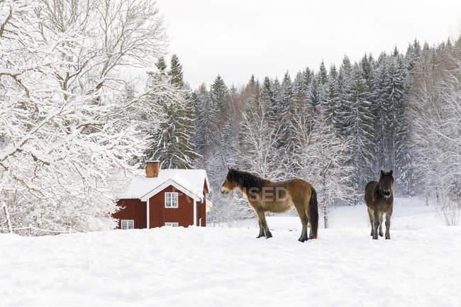 Horses on snow by forest and farmhouse — Stockfoto