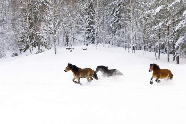 Brown horses running through snow — Stockfoto