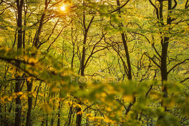 Treses in forest in Soderasen National Park, Suecia - foto de stock
