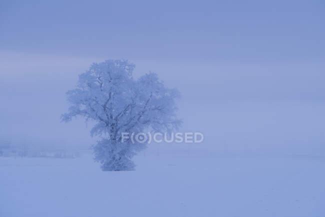 Geada cobriu a árvore no campo nevado — Fotografia de Stock