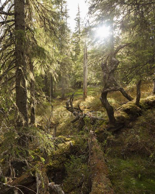 Vista panorâmica da floresta no Parque Nacional Bjornlandet, Suécia — Fotografia de Stock