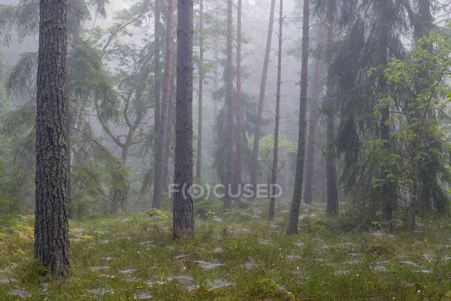 Beautiful landscape with misty pine forest in fog — Stock Photo