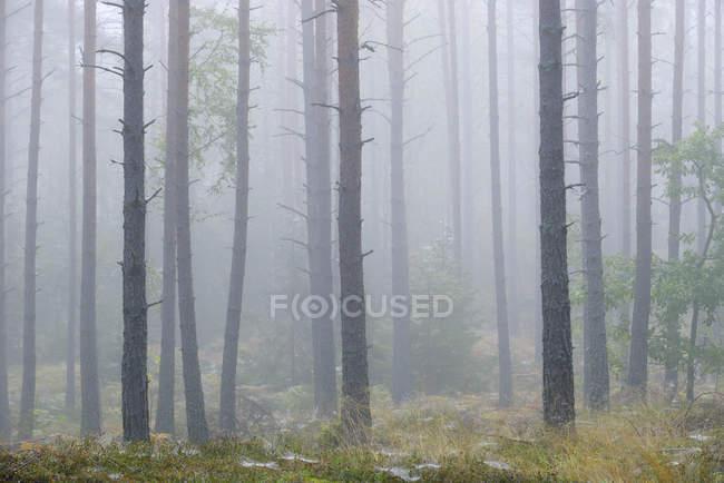 Pineta scozzese nella nebbia, attenzione selettiva — Foto stock