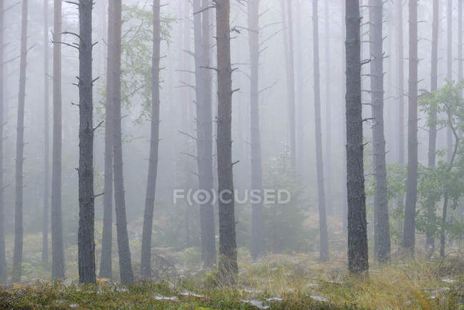 Scots pine forest in fog, selective focus — Stock Photo