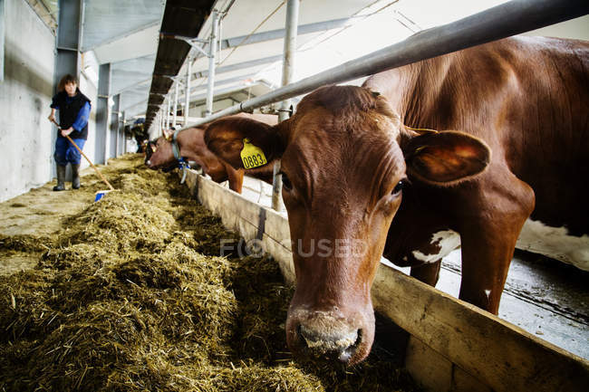 Farmer sweeping hay for cows in barn — Stock Photo