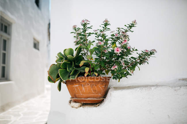 Closeup view of plant in pot standing on wall — Stock Photo
