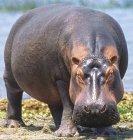 Hippopotamus standing on ground against water — Stock Photo