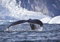 Seitenleitwerk eines Buckelwal, Antarktis — Stockfoto