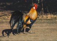Farbige Erwachsene Hahn auf Boden — Stockfoto