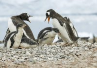 Gentoo penguins on ground against water  during daytime — Stock Photo