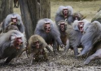 Mantle baboons on attack at farm — Stock Photo