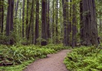 Forest path, ferns, redwood trees — Stock Photo