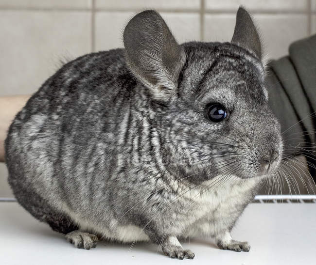 Grey chinchilla on white surface — Stock Photo