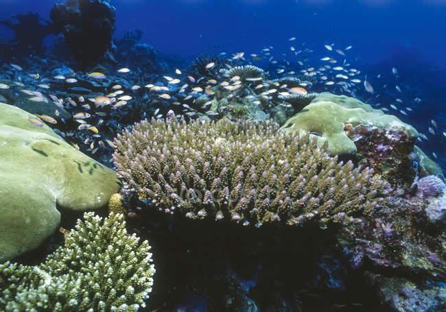 Твердих коралів з риф окунь, підводні постріл — стокове фото