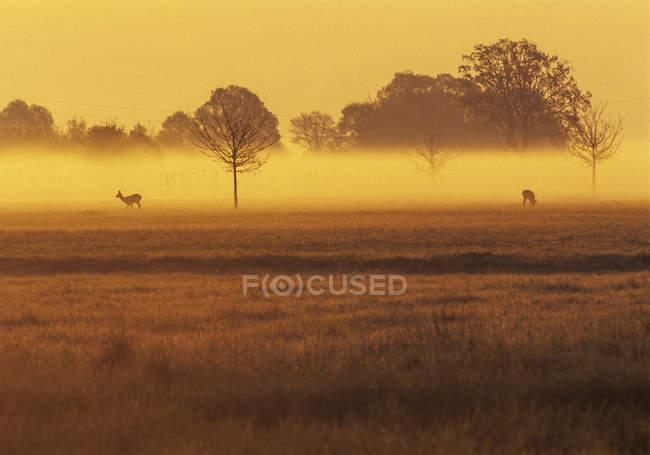 Олень на лугу в утреннем тумане, природный парк Raab, Австрия — стоковое фото