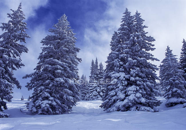 Snowy firs in winter during daytime — Stock Photo