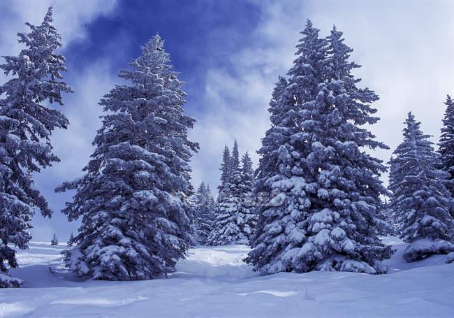 Снежные елей зимой в дневное время — стоковое фото