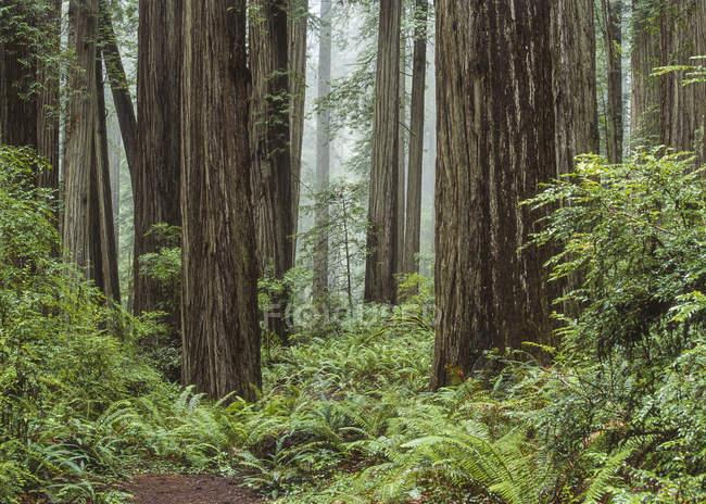 Forêt de séquoias, de troncs d'arbres et de fougères, é.-u. — Photo de stock