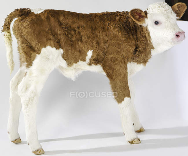 Calf, side view on white background — Stock Photo