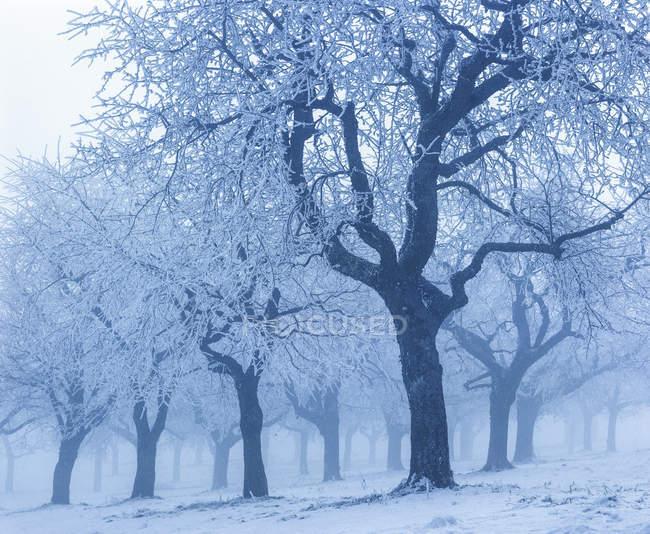 Vista de árvores nevadas no nevoeiro — Fotografia de Stock