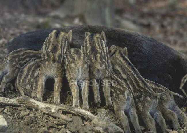 Fedding madre di cinghiale e cuccioli mentre posa sulla terra durante il giorno — Foto stock