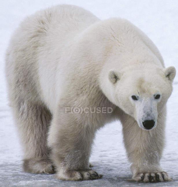 Повна довжина білий білий ведмідь — стокове фото