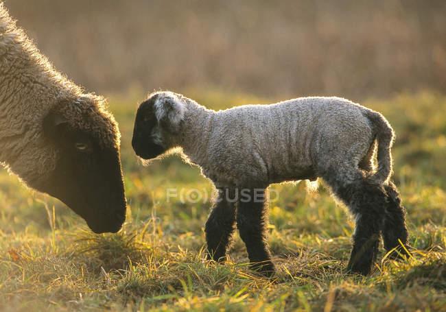 Pecora, agnello con animale madre sopra erba verde — Foto stock
