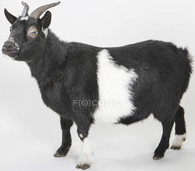 Goat, side view on white background — Stock Photo