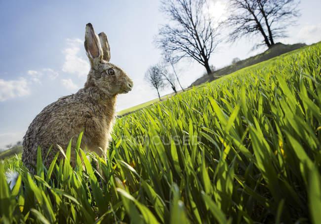 Заяц сидит в луг с зеленой травы — стоковое фото