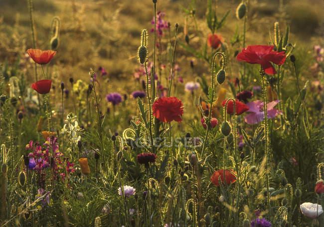Coloré de coquelicots en floraison d'été pré — Photo de stock