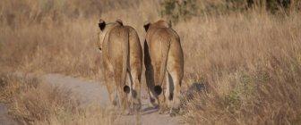 Löwen gehen auf Feldweg — Stockfoto