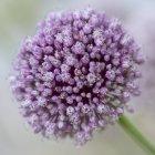 Nahaufnahme einer lila Aliumblüte — Stockfoto