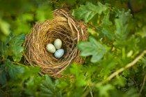Chiuda in su delle uova dell'uccello nel nido all'aperto — Foto stock