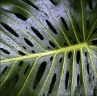 Water droplets on Swiss cheese plant leaf — Stockfoto