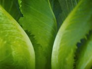 Extreme close up of romaine lettuce leaves — Stock Photo