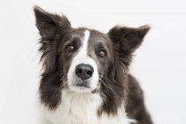 Close up of border collie dog face — Stock Photo