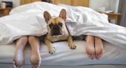 Собака лежит под одеялом с парой в современном доме — стоковое фото