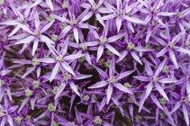 Primer plano de flores de alium púrpura - foto de stock