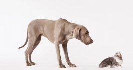 Wiemaraner Dog and cat looking at each other — Stock Photo