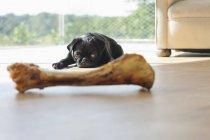 Pug Dog resisting bone in living room — Stock Photo