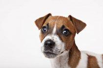 Chiuda in su del fronte del cane su priorità bassa bianca — Foto stock