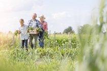 Grandparents and grandson harvesting vegetables in sunny garden — Stock Photo