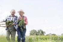 Casal sênior colheita de legumes no jardim — Fotografia de Stock